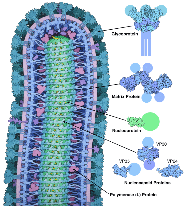 Cross-sectional drawing of the Ebola virus particle, with structures of the major proteins shown and labelled on the right