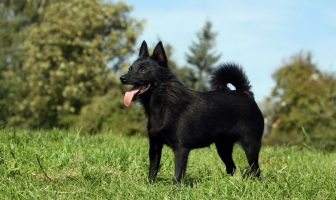 Schipperke Dog Facts - What does a Schipperke look like?