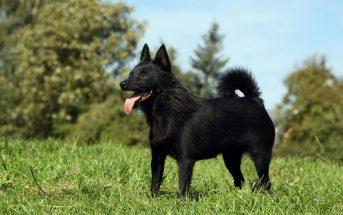 Schipperke Dog Facts - What does a Schipperke look like?