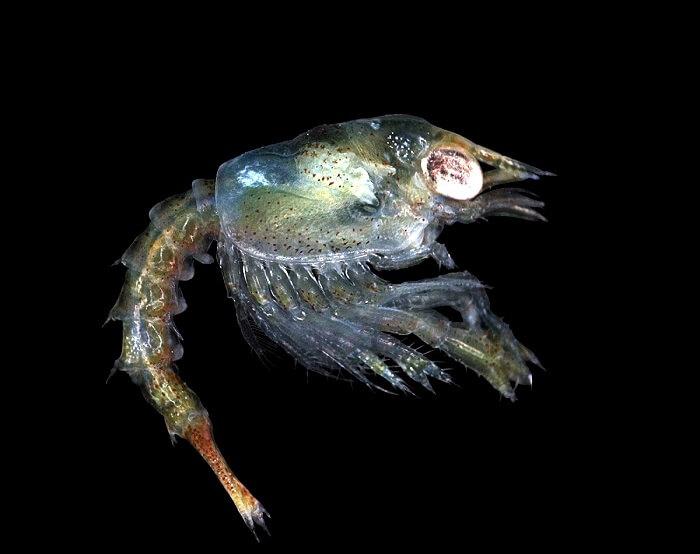 Zoea larva of the European lobster, Homarus gammarus