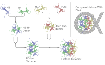 A nucleosome is a combination of DNA + histone proteins.