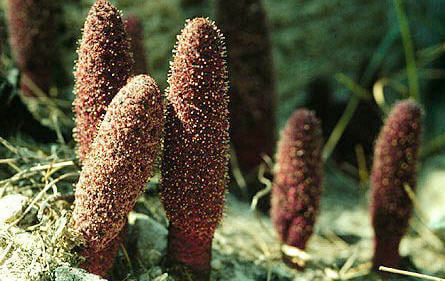 Information About Parasitic Plants - What are the parasitic plants?