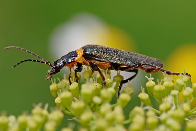 Information About The Pollination By Beetles – Insects