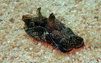 What Is A Sea Hare? What does a sea hare look like?