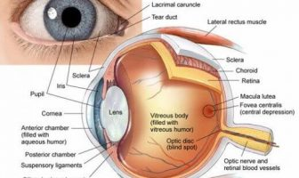 Structure Of Eyes and Their Functions - How do We See