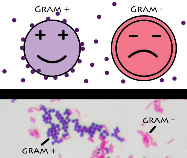 Difference between gram-positive and gram-negative bacteria