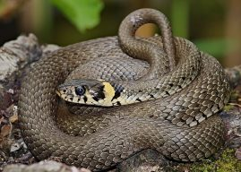 Grass Snake Information – Facts About Grass Snakes