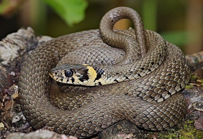 Grass Snake Information - Facts About Grass Snakes