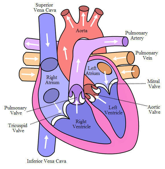 How does Blood Move Through the Body? Pumping Cycle of Heart