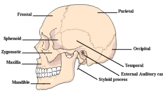 Information On Skull Anatomy and Functions