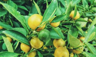 Information On Lemon - Types of Lemons, Cultivation and History