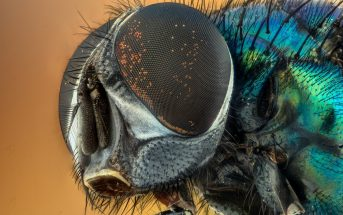 Why Are Flies Important To The Ecosystem? Importance & Distribution