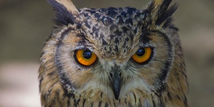 10 Characteristics Of Owls