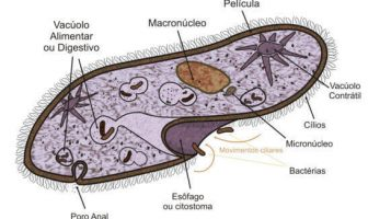 Paramecium Features and Facts - What are the characteristics of paramecium?