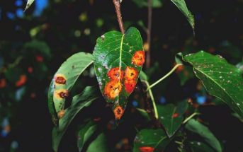 What is Rust Fungus? Information On Rust Fungus On Plants