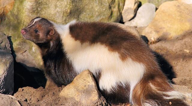 What is Skunk? Information On Skunk Animal
