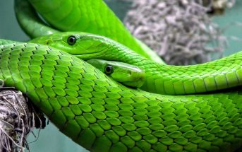 Information About Green Snake - Where do Green Snake live, what do they eat?