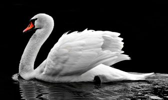 Information About Swan - What are the Characteristics of Swan?