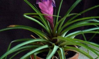 Bromeliad Tillandsia Lindenii Flower Care Instructions