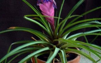 Bromeliad Tillandsia Lindenii Flower Care Instructions