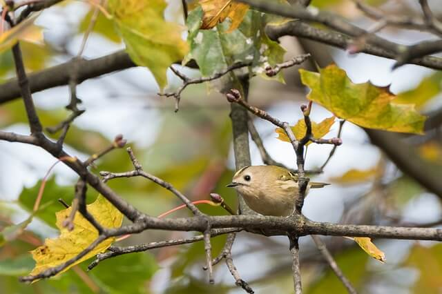 Goldcrest Bird Facts - Goldcrest facts, living habitat, kinds, reproduction