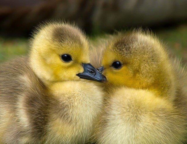 10 Characteristics Of Ducks - What are Ducks Known For?