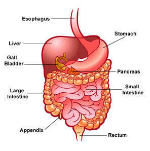 How are the parts of the digestive system arranged?