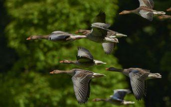 Goose : Behavior, Description and Distribution, Life Cycle, Migration and Navigation