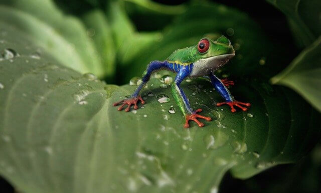 Characteristics Of Frogs - Behavior and Breeding
