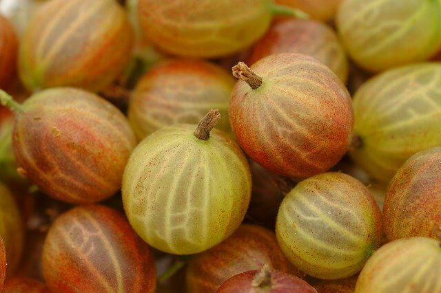 Gooseberry Plant Facts - Gooseberry Fruit, Growing, Planting Facts