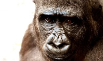 Information About Gorillas - How do gorillas live, features of them