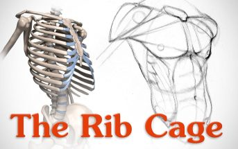 What are the Functions of Rib Cage? Information About Rib Cage