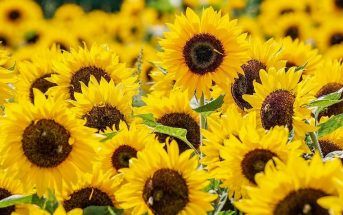 Information On Sunflowers - Where do they grow, description, types of sunflowers