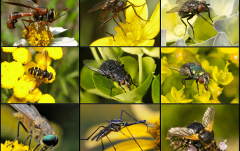 Pollination By Flies - How do Flies Pollinate?
