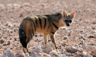 use Aardwolf in a sentence