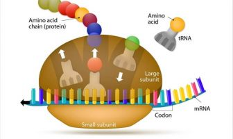 10 Characteristics Of Ribosomes - What is the Function of Ribosomes?