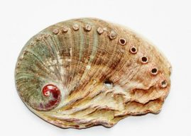 Use Abalone in a Sentence