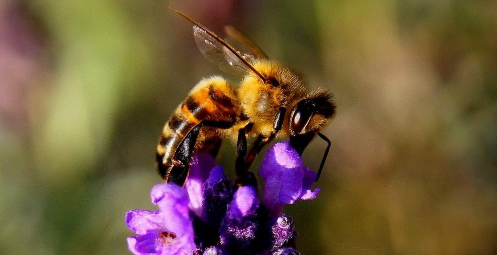 How do Bees and Wasps Pollinate?