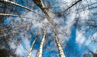 Use Birch in a Sentence