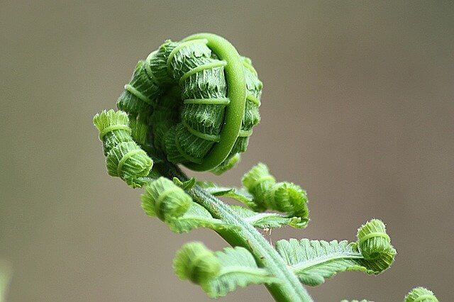 History of Fern Plant - What is the origin and history of fern plant?