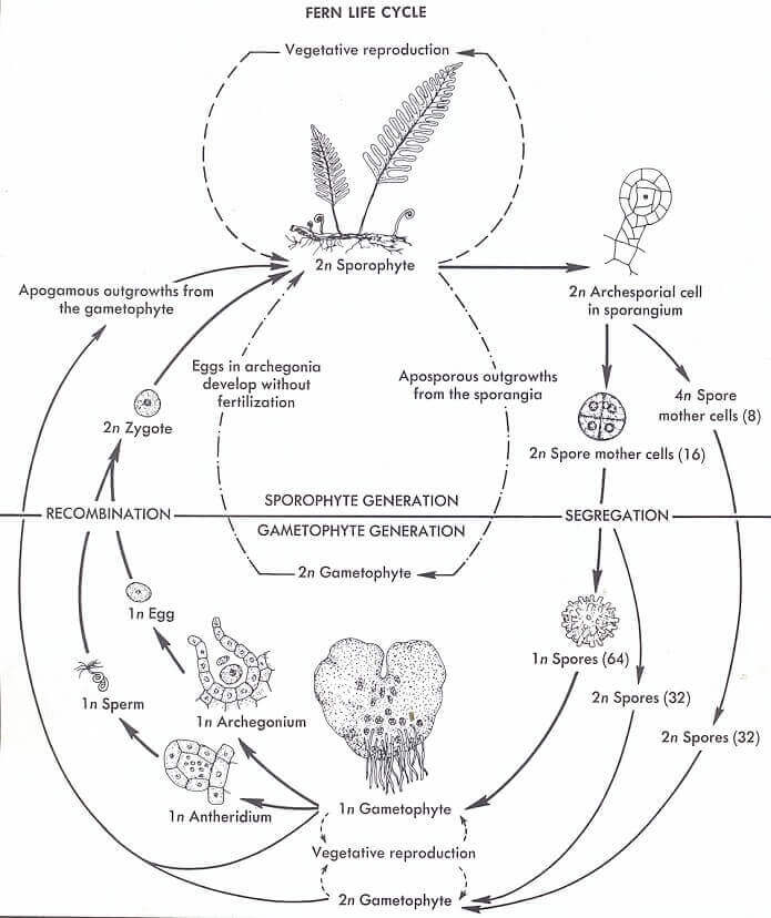 Cycle Of Fern