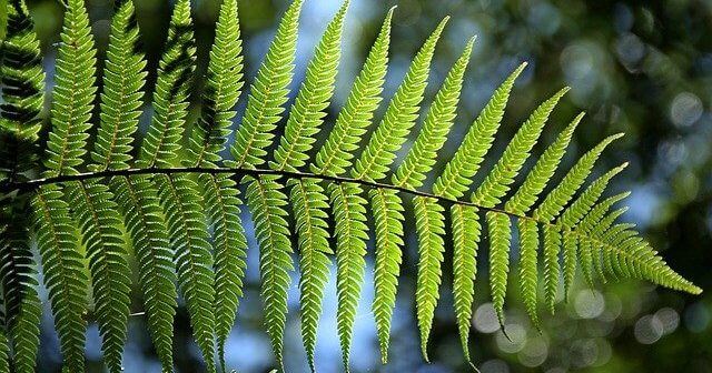 Ecology and Distribution Of Fern – Where do ferns grow on earth?