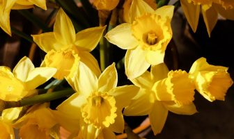 use jonquils in a sentence