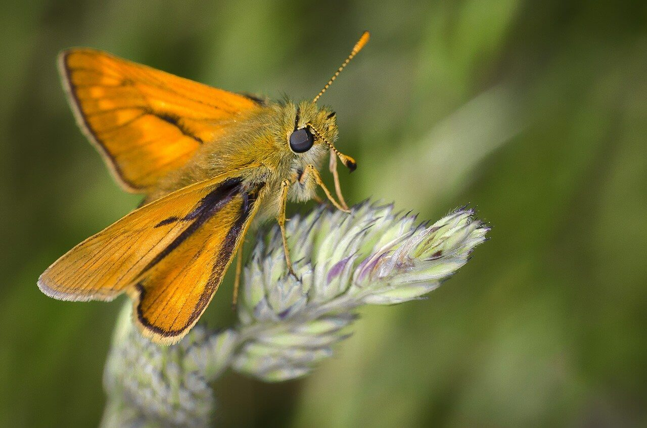 Do Moths Pollinate? Pollination by Moths and Butterflies