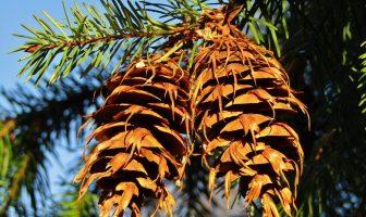 Information About Douglas Fir - What does douglas fir plant look like?