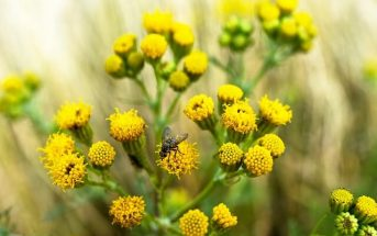 Groundsel Plant Facts - Groundsel Weed, Flower and Growing