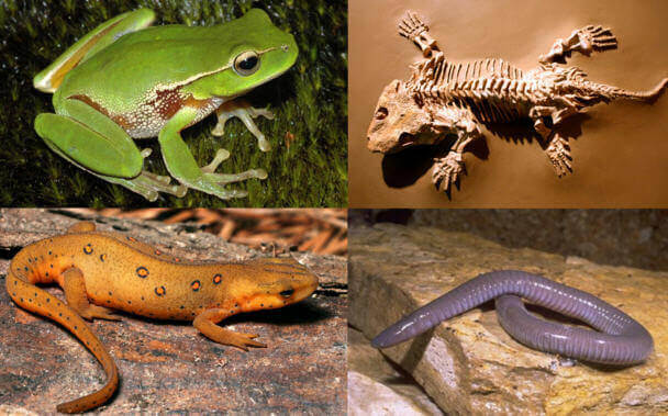 10 Characteristics Of Amphibians - What are the features of the Amphibians?