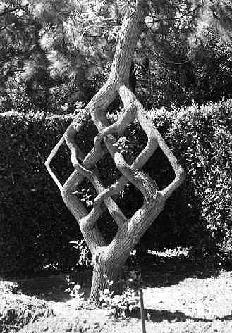 An example of approach grafting by Axel Erlandson.