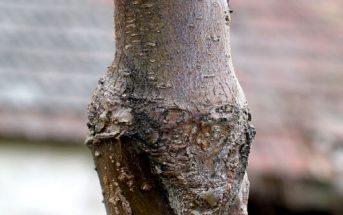 Cherry tree, consolidated V graft