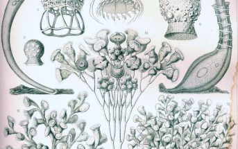 """Ciliata"" by Ernst Haeckel (1904)"